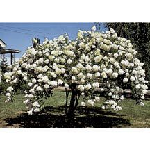 Tree Hydrangea Zones 4-8. A beautiful small tree for your lawn or yard that blooms from midsummer until late fall. Each branch bears a huge flower, opening milk-white, then turning pink and after hard frosts bronze-brown. For giant flower heads keep the tree trimmed to 8 to 10 branches. Will bloom the first year if properly planted. Grows 6 to 8 feet tall. 3 to 4 ft. bareroot trees-Jung