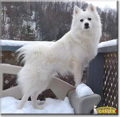 Read Casper's story the American Eskimo Spitz from Elk County, Pennsylvania and see his photos at Dog of the Day http://DogoftheDay.com/archive/2014/May/05.html .