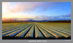 """Strawberry Fields Forever"" Montalvo, Ventura, California by lhg_11"