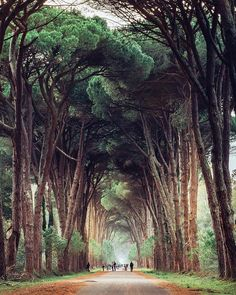 unnel trees of Parco Regionale Migliarino, San Rossore, Italy. Photo by Max Lazzi