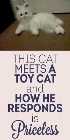 This Cat Meets A Toy Cat And How He Responds Is PRICELESS! :)