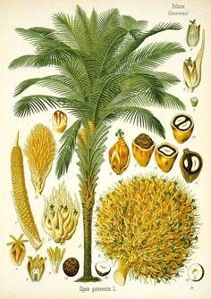 Palm Oil Tree – Elaeis guineensis – Antique Botanical Print from Kohler's Medizinal Pflanzen circa 1883