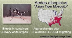 Everything you need to know about the Asian Tiger Mosquito! #education #health #outdoors #insects