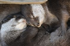 What Could Be Better Than a Nap with a Furry Friend? — The Daily Otter River Otter, Sea Otter, Water Animals, Baby Animals, Significant Otter, Otter Love, Sea Dweller, Otters, Dolphins