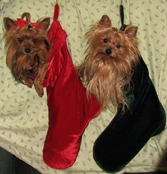The best stocking fillers ever! My yorkies, Roxy on the left & Bubba on the right. Merry Christmas!!!