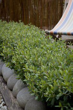 Leptospermum Fore Shore hedge (like a native box)