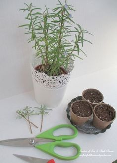 DIY ~ propagating rosemary http://ourfairfieldhomeandgarden.com/an-ode-to-rosemary-my-favorite-herb/