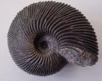 Picture Macrocephalites is recognised by it's unique split ridges. Like most Ammonites, it would have used jet propulsion to move around. They grow extremely big, 3 meters is a decent size.  The ridges are sharp and are the same width as the ridges. The ridges split on the curves.