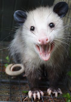 Dog Grooming Funny Oppossums love to raid the trash cans and the cat food!Dog Grooming Funny Oppossums love to raid the trash cans and the cat food! Animals And Pets, Baby Animals, Cute Animals, Beautiful Creatures, Animals Beautiful, Reptiles, Mammals, Dog House Air Conditioner, Opossum