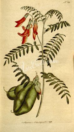 flowers-01291 181-colutea frutescens, Scarlet Bladder-Senna      ...  botanical floral botany natural naturalist nature flowers flower beautiful nice flora plants blooming ArtsCult.com Artscult ArtsCult vintage printable public domain 300 dpi commercial use 1800s 1700s 1900s Victorian Edwardian art clipart royalty free digital download picture collection pack paintings scan high qulity illustration old books pages supplies collage wall decora
