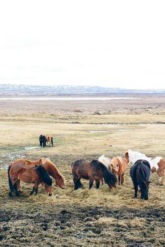 Icelandic horses, icelandic ponies, the golden circle, Iceland travel guide —via @TheFoxandShe