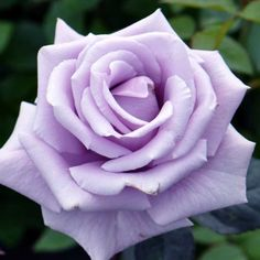 """""""Sterling Silver"""" rose #MUST"""