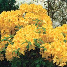 'Golden Lights' Hardy Azalea - Spring Hill Nursery