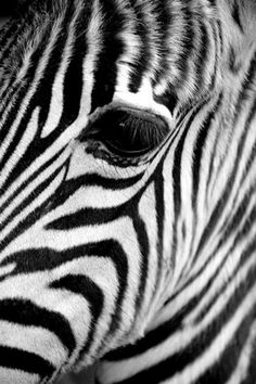 black w/ white or white w/ black?beautiful photograph. taken at just above eyelevel gives a sense of gentleness. I love how there is no background - just the animal's beautiful patterns