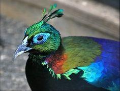 danfe lophophorus is national bird of nepal this species of bird has ...