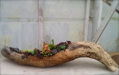 succulents in driftwood - Google Search