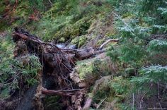 Roots of a broken tree in the forest. Sipoo, Finland #forest #Finland
