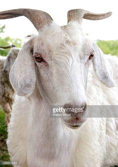 Résultats de recherche d'images pour «angora goat»