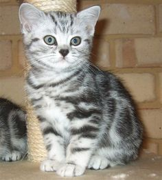 Cat of the Day - British Short Hair - http://blog.hepcatsmarketing.com - check out our blog network for more cute like this!