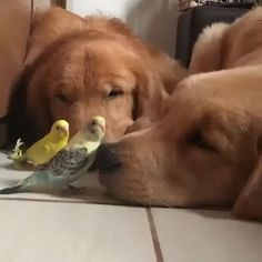 Video by @bob_marley_goldenretriever  Tag #WildlifePlanet and follow us to be featured!