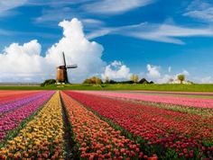 Holland, tulip fields