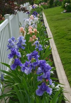 Learn about the best perennials that you can plant on flower beds and containers. #perennials #springflowers #flowerbeds #yard Iris Flowers, Beautiful Flowers, Growing Flowers, Planting Flowers, Iris Garden, Garden Yard Ideas, Garden Beds, Flower Landscape, Bearded Iris