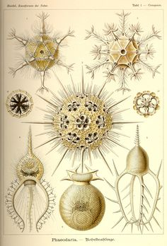 Ernst Haeckel  I love the strange and perfect geometry of seedpods and seeds here...