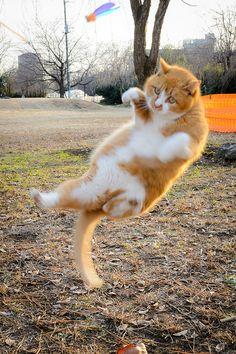 hanaakane:  Flying cat
