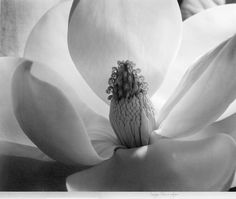 Magnolia.  The most beautiful flower. I fell in love with magnolias in the garden of my friend's parents. Many a day and night spent under the magnolia tree, wine and talking, playing bocce and laughing. The scent and overwhelming size of the magnolia above. Truly beautiful....  This photo by the amazing photographer Imogen Cunningham.
