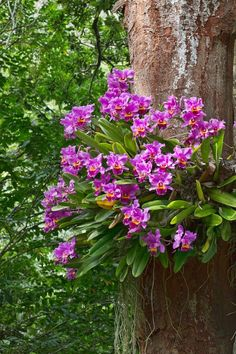 Cattleya Orchids on a Tree (by Stevie Benintende) Tropical Flowers, Exotic Flowers, Tropical Garden, Tropical Plants, Amazing Flowers, Beautiful Flowers, Purple Flowers, Tropical Forest, Cactus Flower