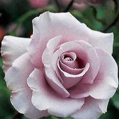Lagerfeld: Buy this unique grandiflora from Jackson and Perkins--you'll love the pale lavender blooms and sweet spicy fragrance! Beautiful Roses, Beautiful Flowers, Pretty Roses, Rose Reference, Ronsard Rose, Fragrant Roses, Shrub Roses, Rose Care, Rose Trees