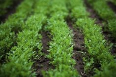 Care Of Watercress: Growing Watercress Plants In Gardens -  Because watercress thrives in clear, slow moving water, many gardeners refrain from planting it. The fact is that the plant is very adaptable and watercress cultivation can be attained in a number of different ways at home.