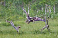 Sea Eagle, Kuusamo, Finland - propluto.kuvat.fi by Heikki Rantala