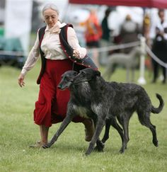 Scottish Deerhounds competing at the dog show