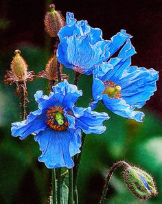 Beautiful Painting - Himalayan Blue Poppy Flower by Lanjee Chee