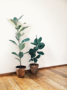 How to take care of the Ficus Elastica. [ botanicstilllife.com - visual inspiration from plants to interior decoration ]