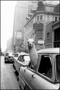 Inge Morath, A Llama in Times Square, New York City, 1956