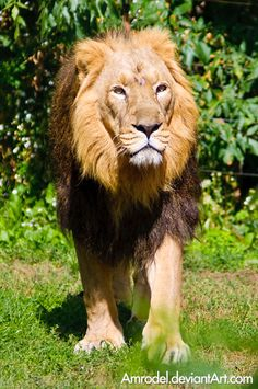 Asiatic Lion (aka Indian Lion) at Prague Zoo | The Lion King by amrodel