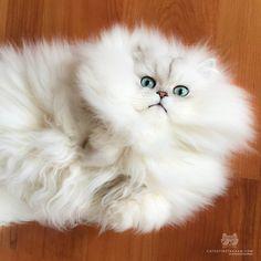 "From @princeandbarbara: ""Hi catlovers! I'm a fluff ball!"" #catsofinstagram"