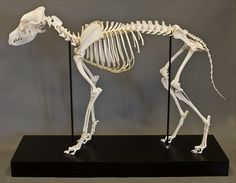 articulated dog skeleton from skulls unlimited... this is what ...