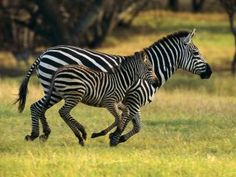 The ever new collection of zebra new desktop wide hd wallpaper