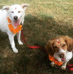 Quando o outono chega, os nepaleses comemoram o Tihar, um festival que tem cinco dias de duração e que faz parte das celebrações religiosas hindus. Apesar de haver variações entre as comemorações, dependendo da região do país, o segundo dia do festival sempre é dedicado aos cachorros e sua lealdade. Chamado de Kukur Tihar ou Khichã Puj...