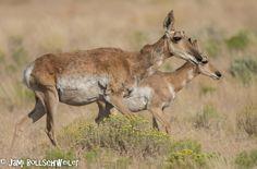 Pronghorn by Simpson Springs, Utah Wildlife