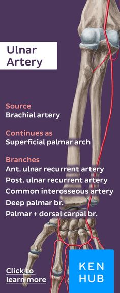 The ulnar artery is a continuation from the brachial artery. Pin to remember the most important aspects of this blood vessel. #arteryfacts #anatomy