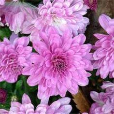 7 classes of chrysanthemums