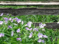 Light purple flowers planted next to a split rail fence near the Navarre cabin at the Toledo Botanical Garden in Ohio.