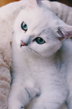 British shorthair, silver shaded, 4,5 months old