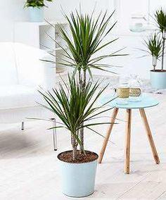 Prezzi e Sconti: #Dracena  ad Euro 9.95 in #Bakker #Piante e fiori piante interni