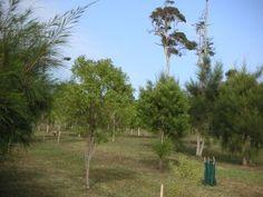 Sandalwood-Vanuatu-Plantation