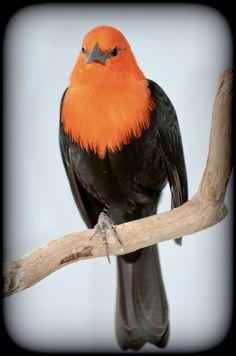 The Scarlet-headed Blackbird (Amblyramphus holosericeus) is an icterid bird of southern South American wetlands.